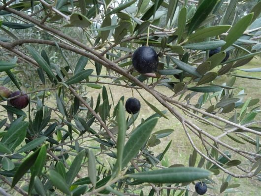 Windybank Olive - Windybank Estate Hunter Valley